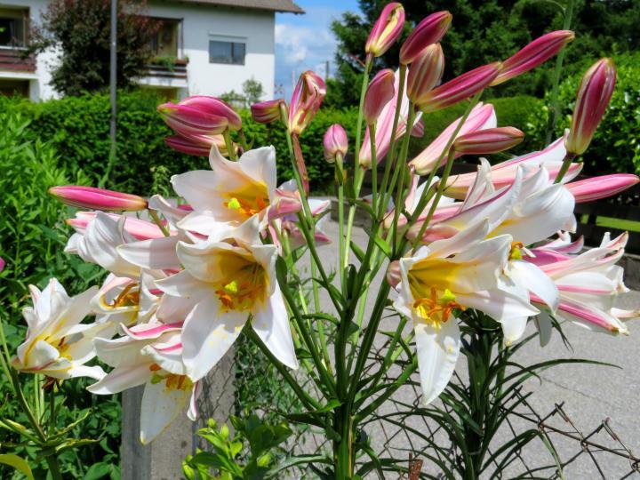 Madonnenlilie mit 39 Blüten